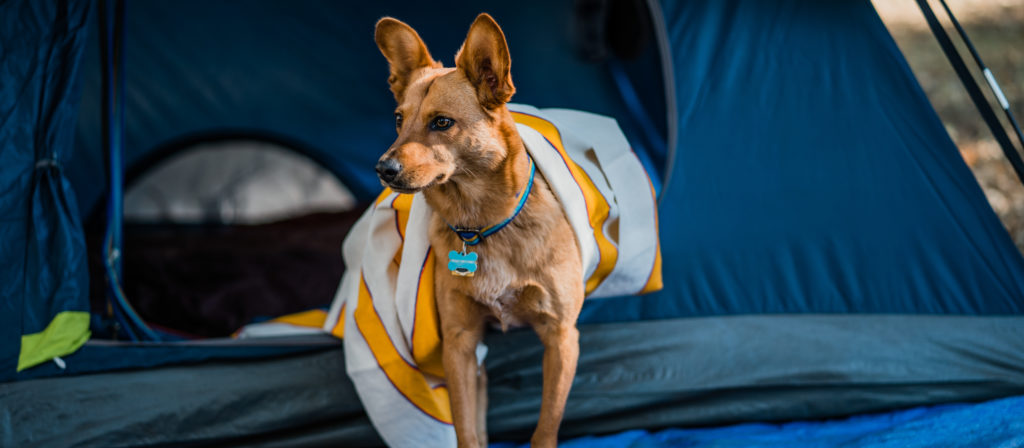 The tent is one of the safest places for your dog at the campsite.